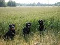 dogs-in-field