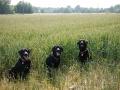 dogs-in-field